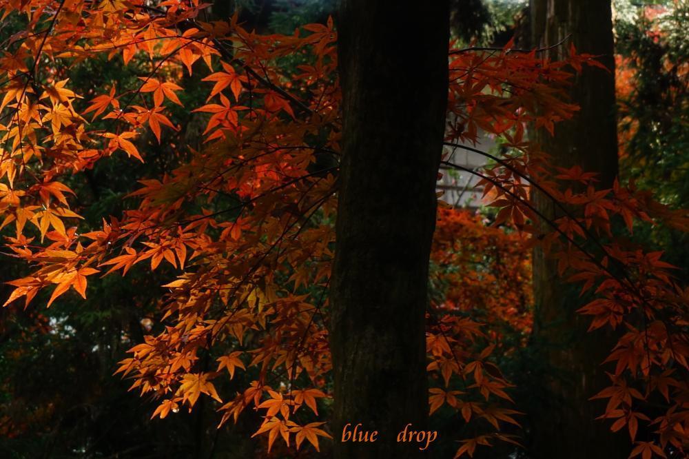 透き通る黄葉*