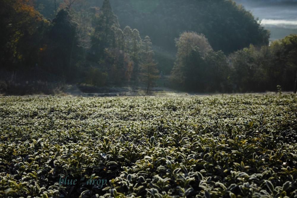 冬朝の茶畑