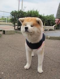 秋田犬こむぎちゃんIMG_7624