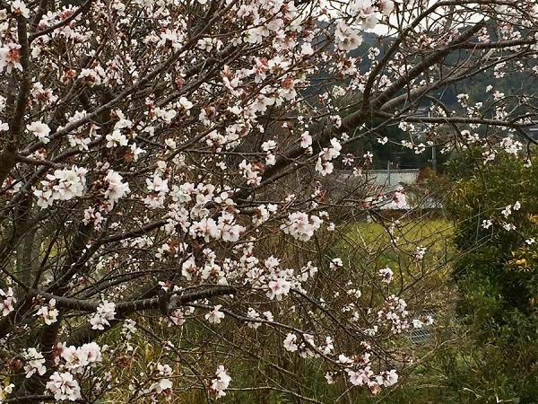 171204寒桜
