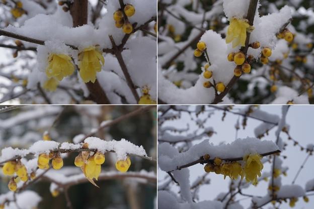 雪のロウバイ