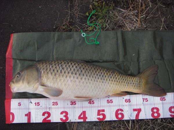 中川 鯉 87cm ソーセージ1本バリ