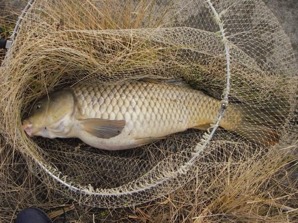 中川 鯉 70cm ダンゴパン