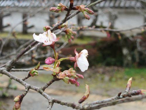 IMG_7033小室桜