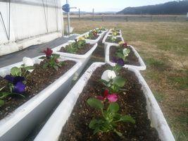 【写真】プランターに植えたパンジーの花々