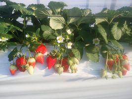 【写真】いちごハウスの様子(赤い実と白い花)