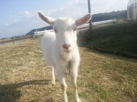 【写真】凛々しく成長した子ヤギのポール