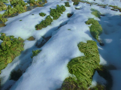 1.14壬生菜も雪の下