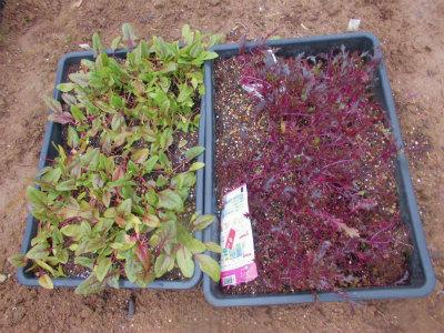 1.19サラダホウレン草とサラダ水菜