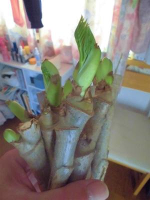2.18タラの芽のふかし栽培4