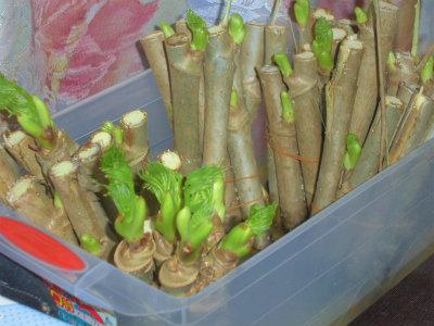 2.22タラの芽の吹かし栽培5