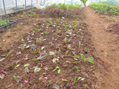 2.25サラダホウレン草定植