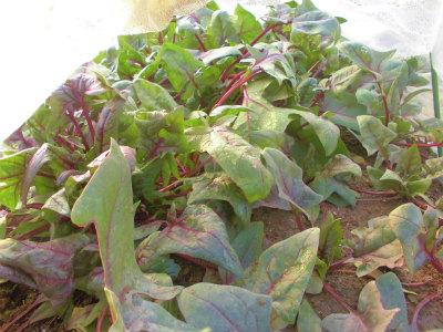 2.23ハウスのサラダホウレン草
