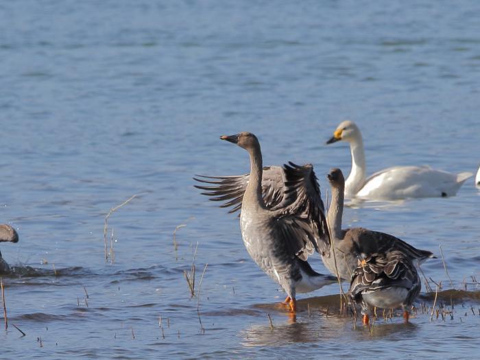 NN7A0317湖北水鳥センター オオヒシクイ_convert_20171204222948
