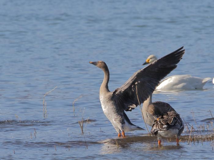 NN7A0325湖北水鳥センター オオヒシクイ_convert_20171204223017