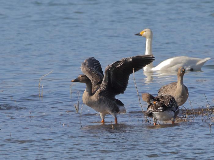 NN7A0327湖北水鳥センター オオヒシクイ_convert_20171204223046
