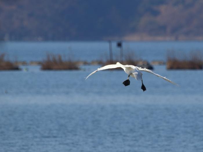 NN7A0412湖北水鳥センター コハクチョウ_convert_20171205211240