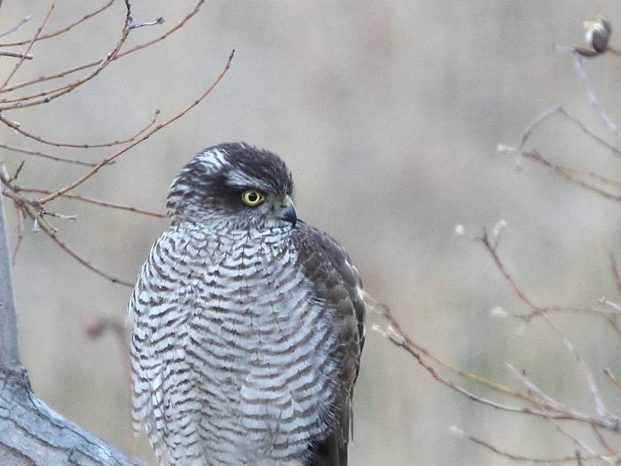 NN7A0216南港野鳥園 ハイタカ(トリミング)_convert_20180114204922