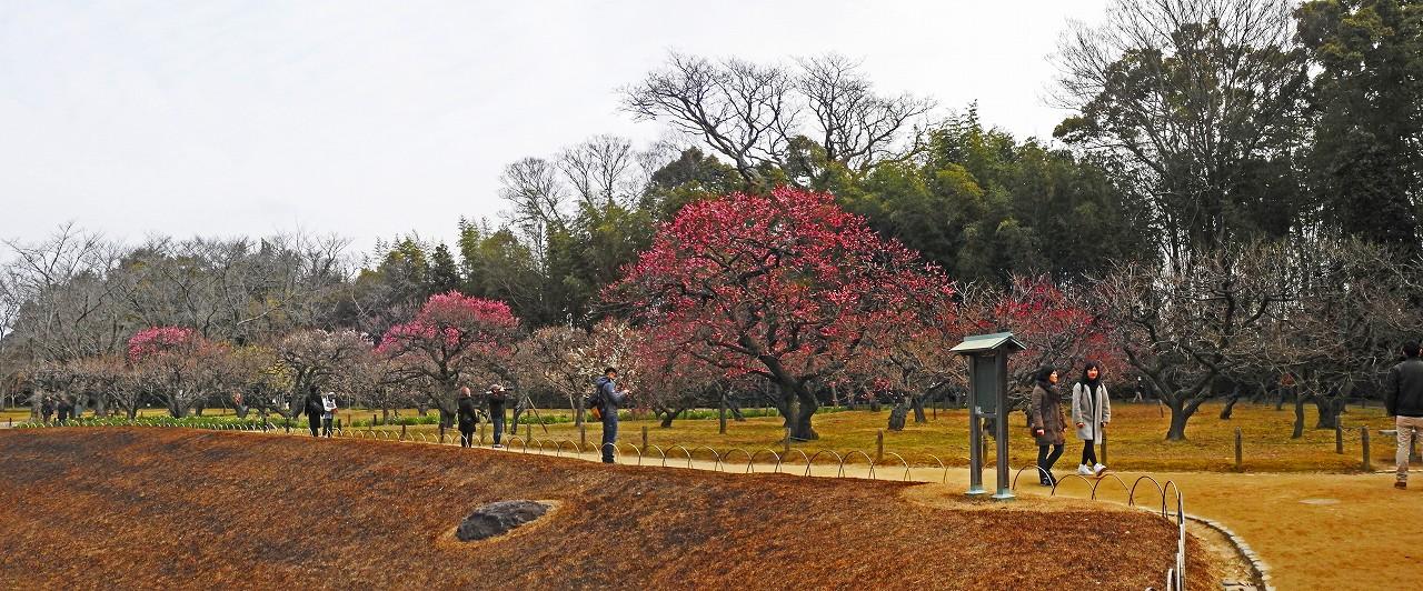 20180226 後楽園今日の園内梅林の梅の花の様子ワイド風景 (1)