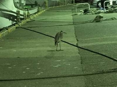 三崎港のアオサギ