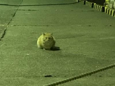 城ヶ島の茶トラ猫
