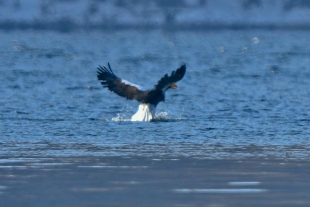 オオワシ 水面からの飛び出し