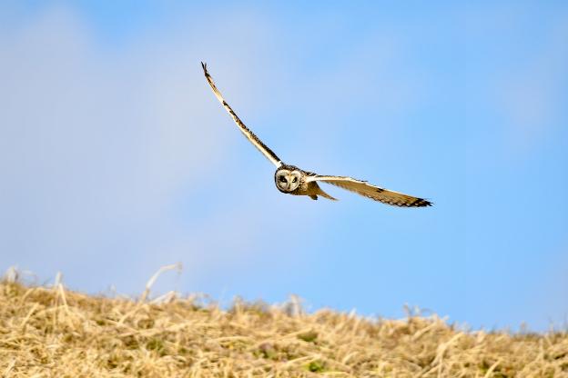 コミミヅク飛翔