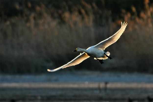 多々良の白鳥