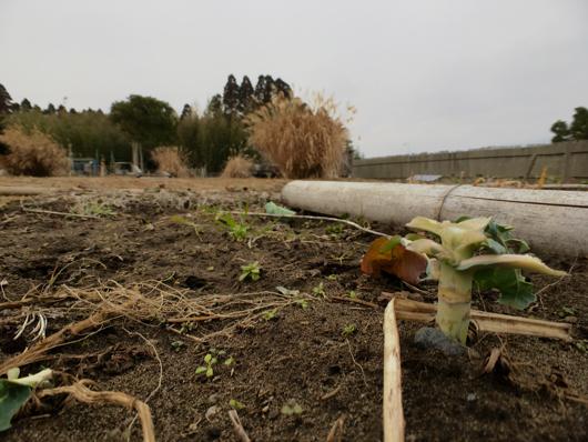 2月の畑 ロマネスコ