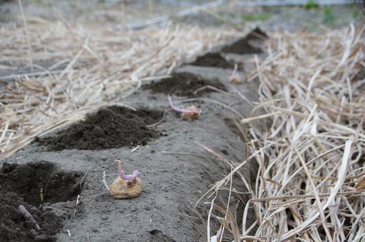 房総フィールド ガーデン ジャガイモの植え付け