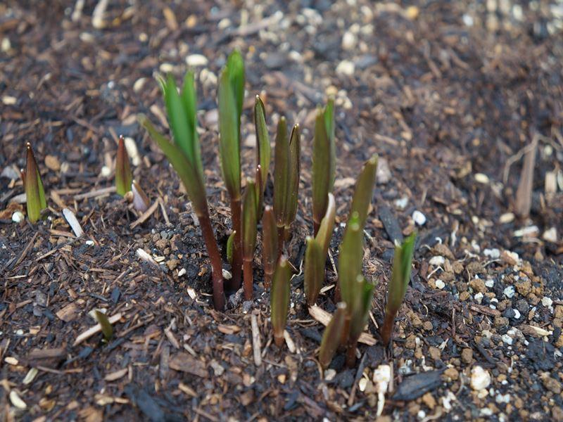 貝母百合の新芽