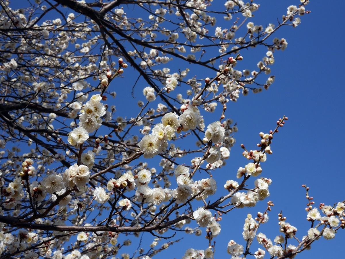 180218岸根公園の春-03