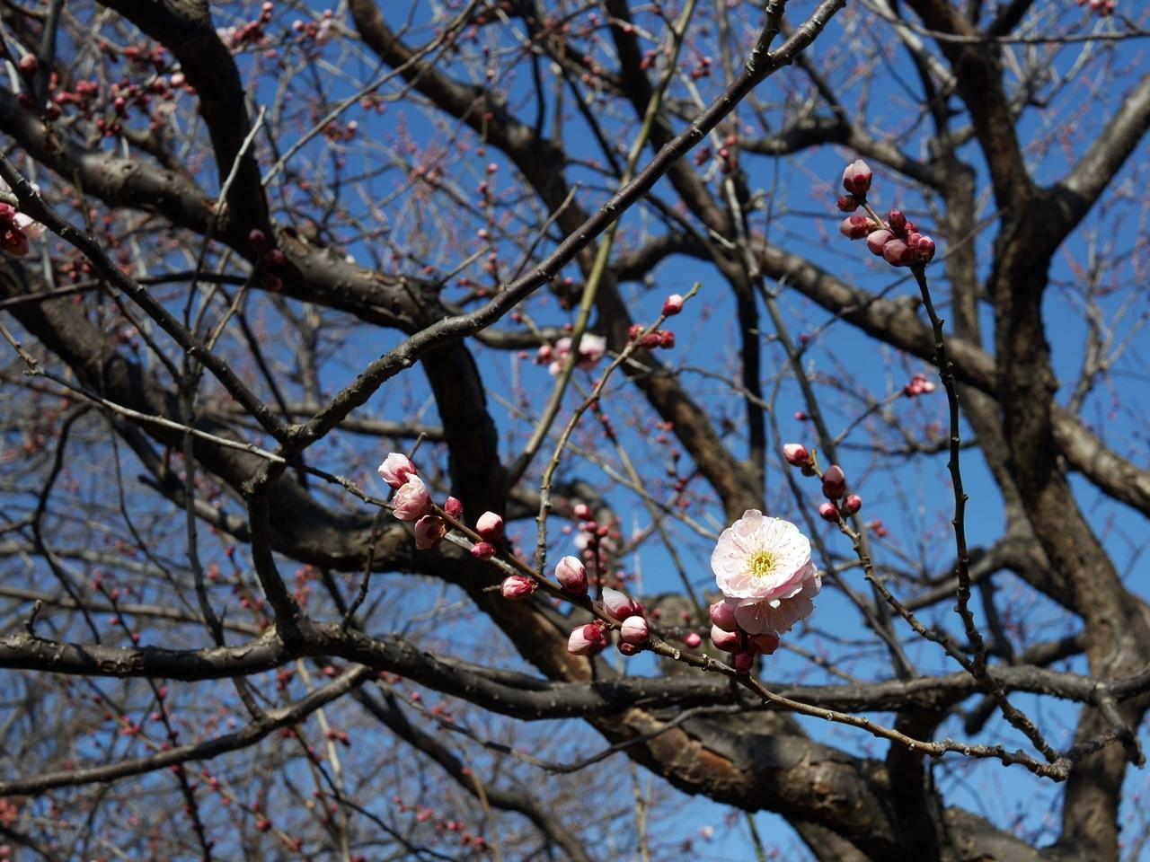 180218岸根公園の春-04