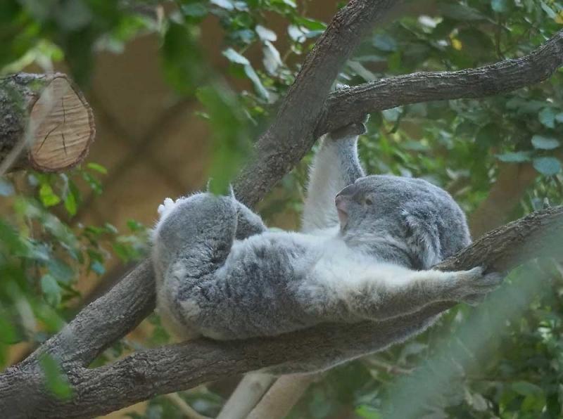 コアラの寝相