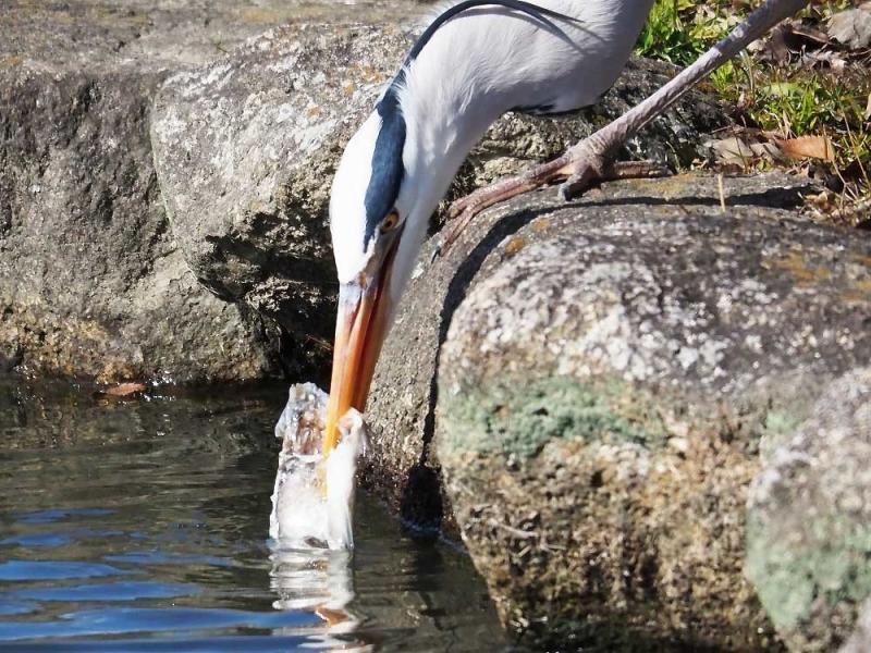アオ君魚食①
