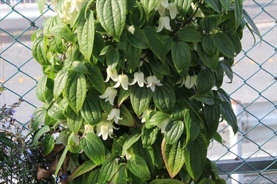 冬咲きクレマチス2