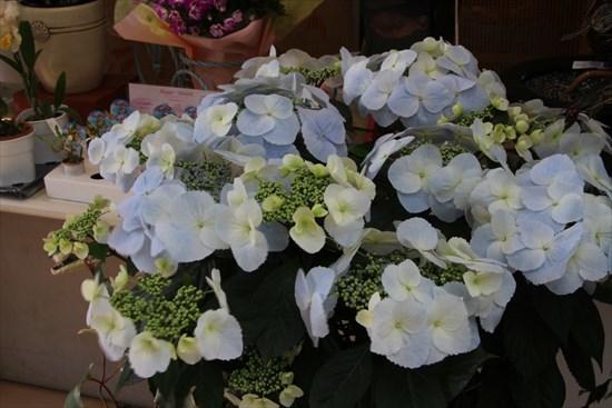 冬咲きアジサイ1