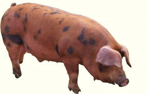美豚 (473x300)