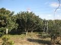 H30.1.13ビワの木の様子@IMG_4335