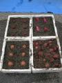 H30.2.10サツマイモ種芋埋め込み(3P)@IMG_4507