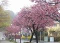 横浜緋桜(本牧公園)
