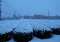 茶畑の降雪①