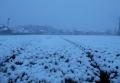 茶畑の降雪②