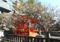 末廣稲荷神社の白梅