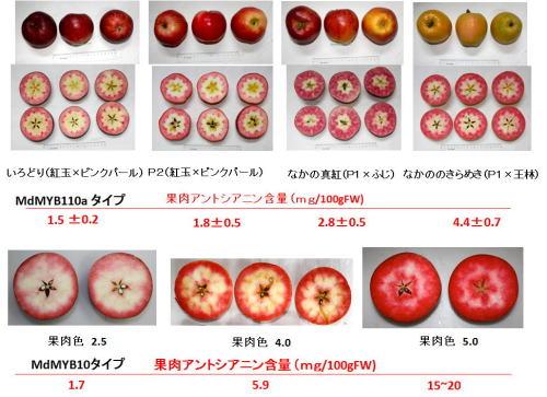紅肉リンゴ 2018 1 8-1