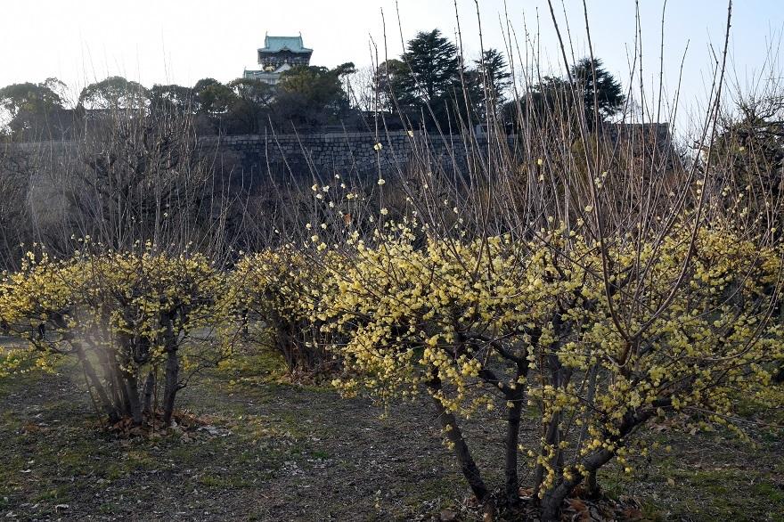 大阪城蝋梅 (7)