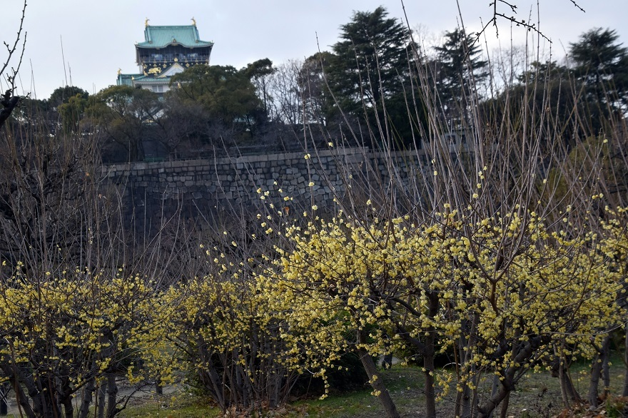 大阪城蝋梅 (8)