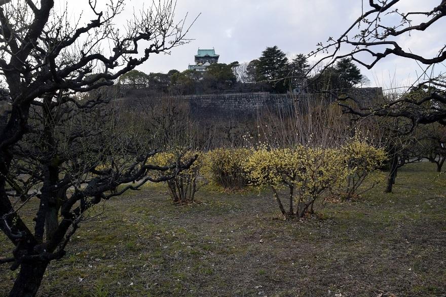 大阪城蝋梅 (14)