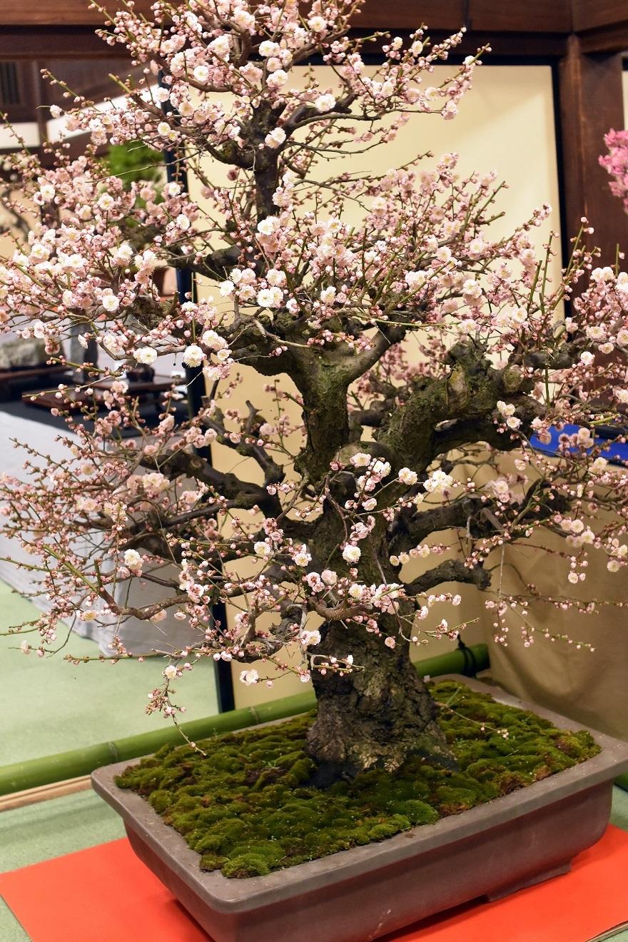 盆梅と盆石展 2018 (13)