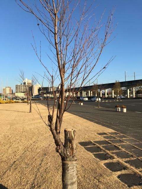 桜2015.1.14+4